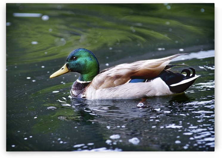 Duck by C  McGowen