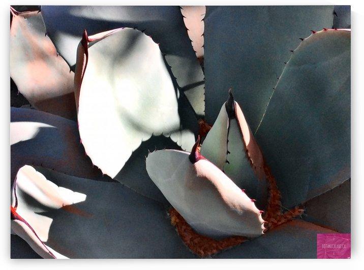 Shapely Agave by BotanicalArt ca