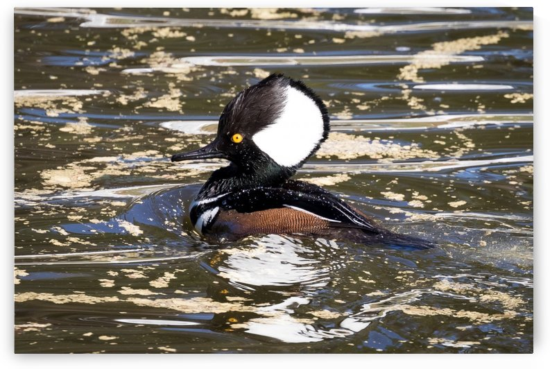 Hooded Merganser in Columbia County   Evans GA 0073 by The Photourist - Sanjeev Singhal