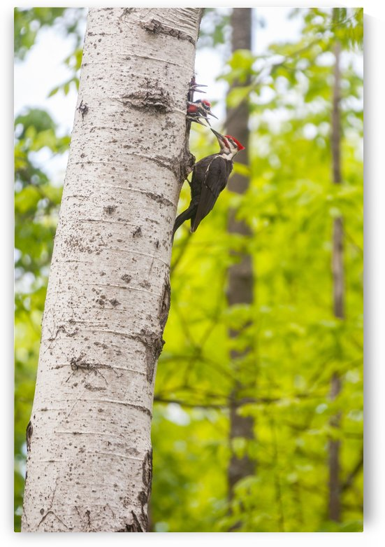 Pileated Family by Good Noise