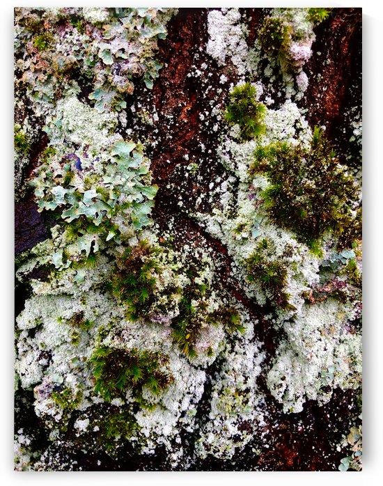 Tree Lichen by BotanicalArt ca