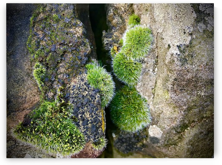 Moss and Lichen Stone Wall Detail by BotanicalArt ca