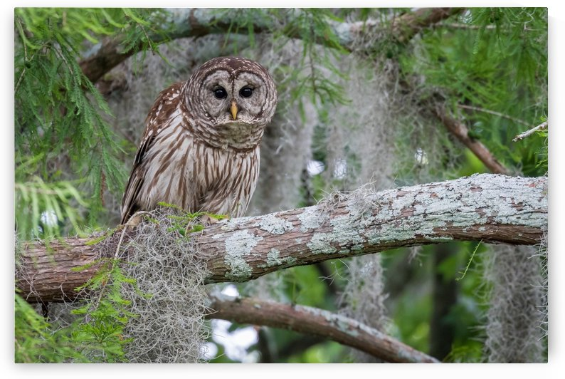Phinizy Swamp Barred Owl   Augusta GA 8034 by @ThePhotourist