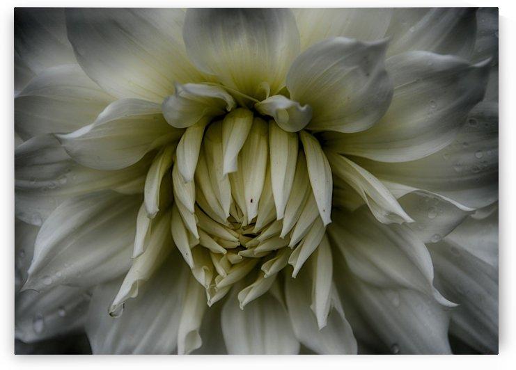 dahlia white beauty 3 by Judy H McPhee