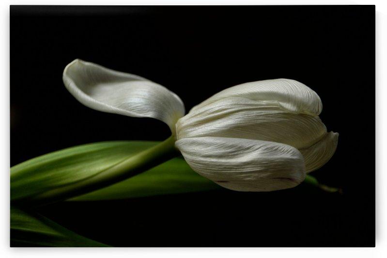 tulip tonalcontrast 3 by Judy H McPhee