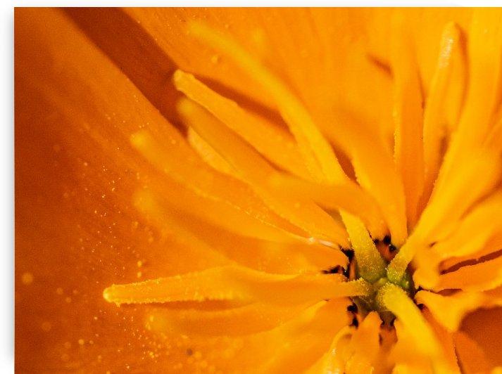 California Poppy Flower by Raquel Creative