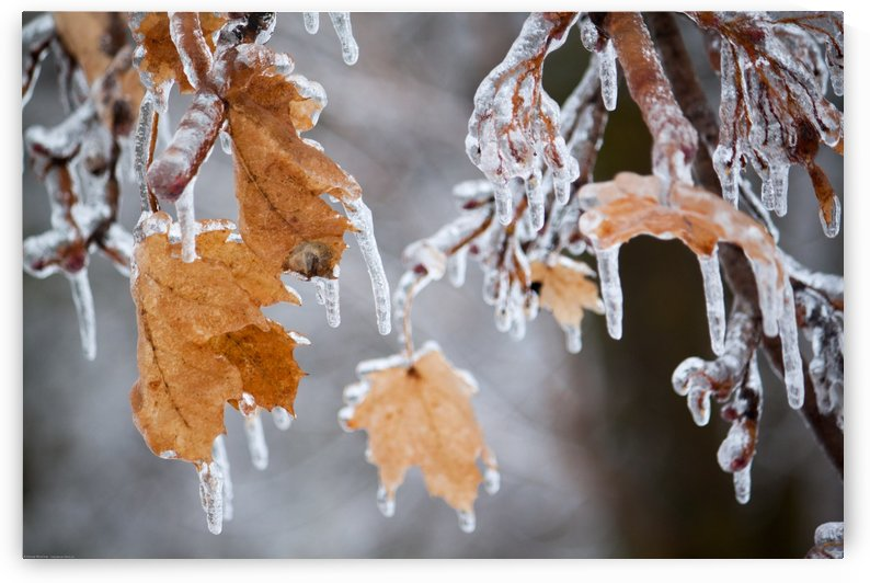 Ice Storm Leaves by Andrew Woolner