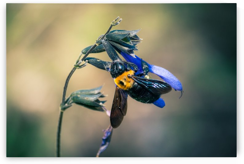 Carpenter Bee by Andrew Woolner
