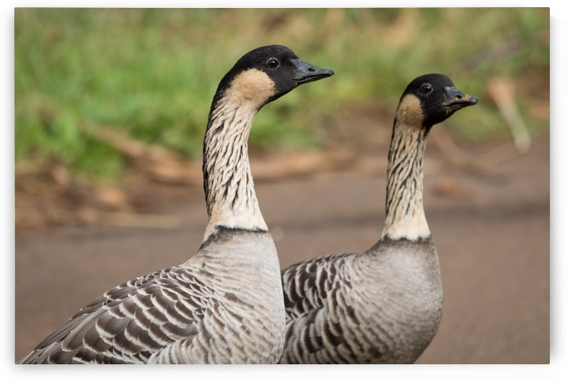 Hawaiian Goose Nene   Kauai Hawaii 9427 by @ThePhotourist