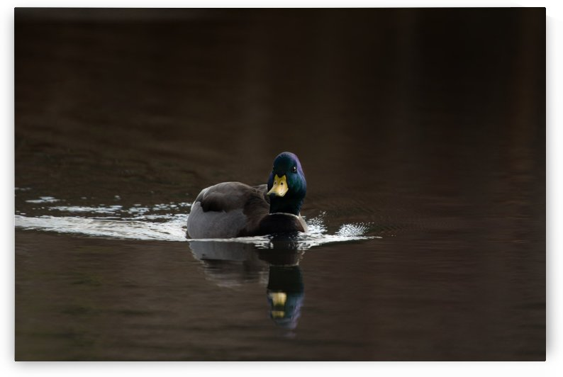 The Mallard by Chris Couling