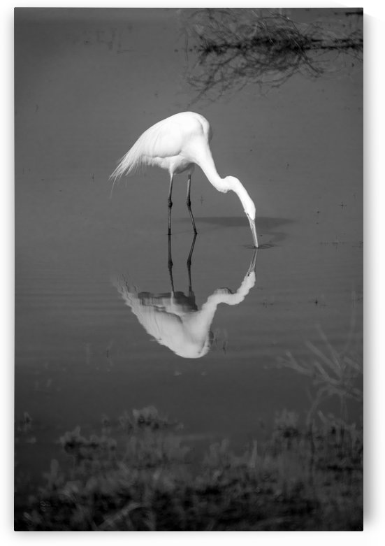 The Kiss White Egret BW by Frank Wilson