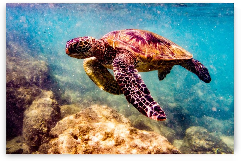 Green Sea Turtle   Maui Hawaii 01402 by @ThePhotourist