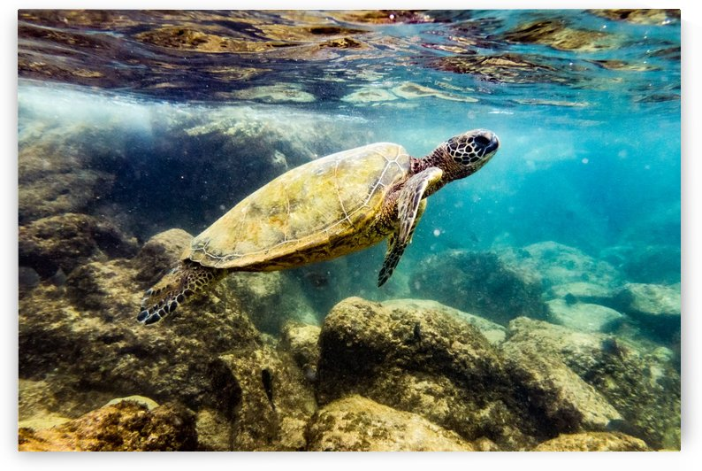 Green Sea Turtle in Honolua Bay   Maui Hawaii 01018 by @ThePhotourist