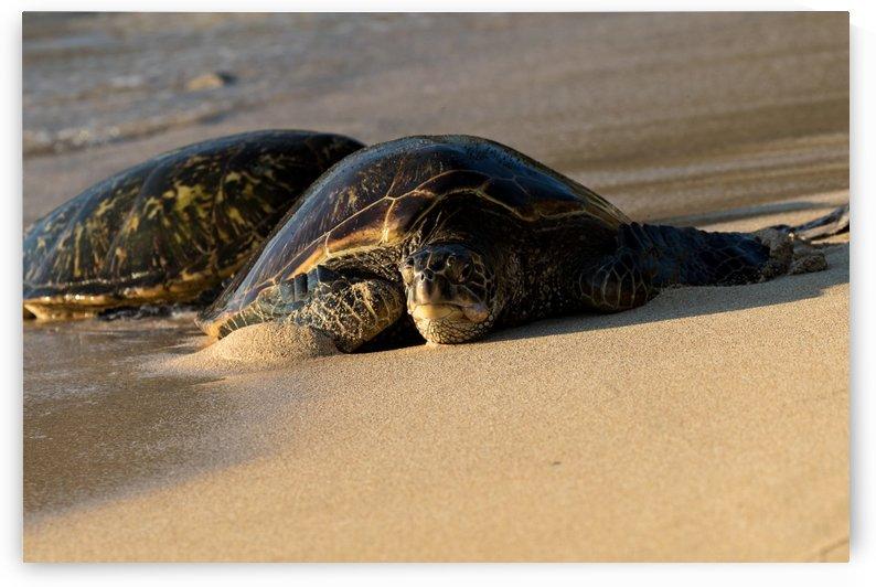 Green Sea Turtles on Hookipa Beach   Maui Hawaii 4301 by @ThePhotourist