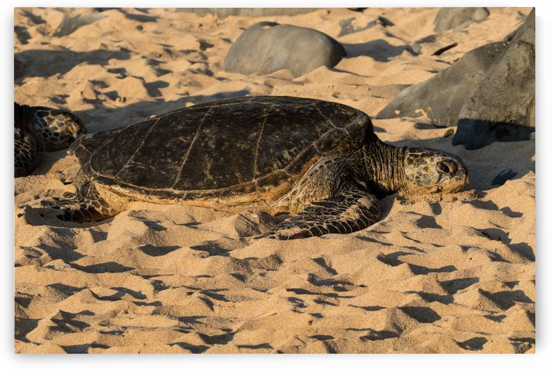 Green Sea Turtles on Hookipa Beach   Maui Hawaii 4410 by @ThePhotourist
