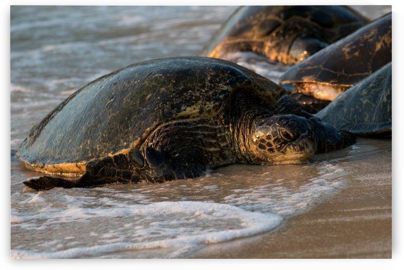 Green Sea Turtles on Hookipa Beach   Maui Hawaii 4509 by @ThePhotourist