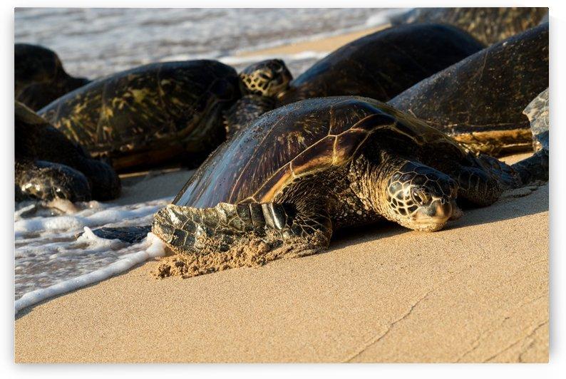 Green Sea Turtles on Hookipa Beach   Maui Hawaii 4383 by @ThePhotourist