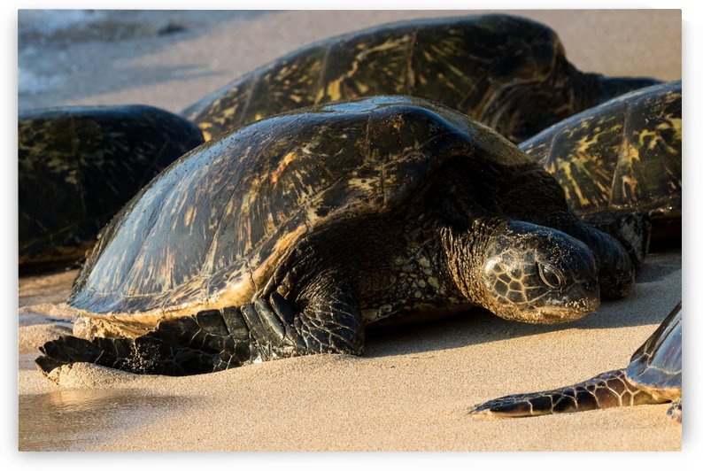 Green Sea Turtles on Hookipa Beach   Maui Hawaii 4382 by @ThePhotourist
