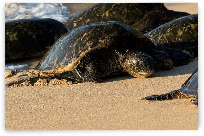 Green Sea Turtles on Hookipa Beach   Maui Hawaii 4374 by @ThePhotourist