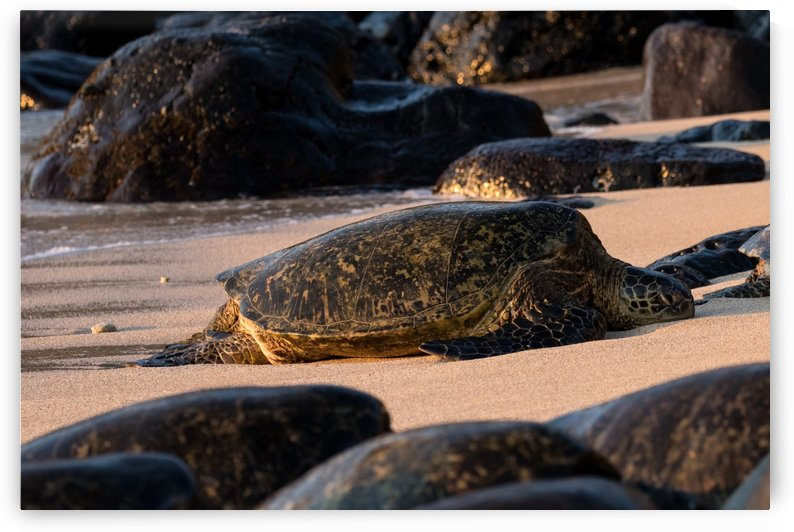 Green Sea Turtles on Hookipa Beach   Maui Hawaii 4494 by @ThePhotourist