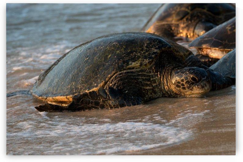 Green Sea Turtles on Hookipa Beach   Maui Hawaii 4511 by @ThePhotourist