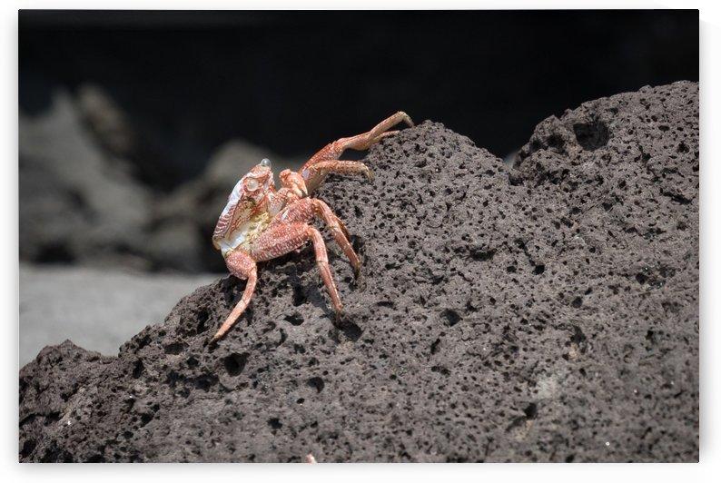 Hawaiian Red Crab   Maui Hawaii 3371 by @ThePhotourist