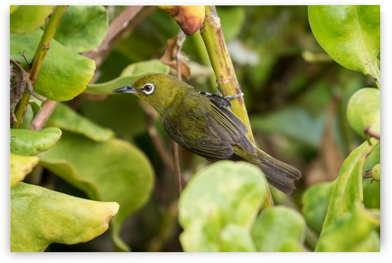 Japanese White Eyes   Maui Hawaii 2626 by @ThePhotourist