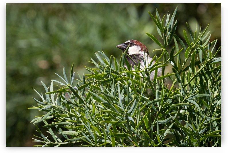 House Sparrow   Maui Hawaii 1580 by @ThePhotourist