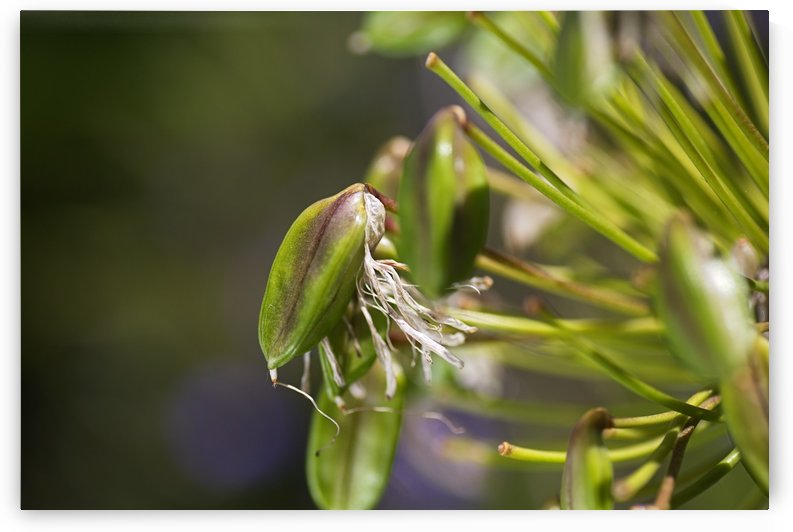 Agapanthus Flower Ageing  by Joy Watson