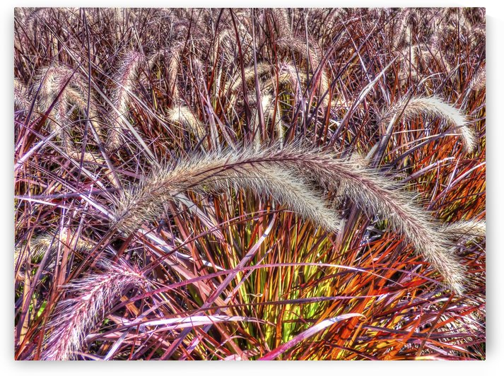 Purple Fountain Grass by Leslie Montgomery