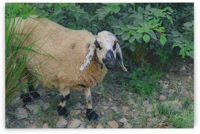Sheep  by Bayaaz