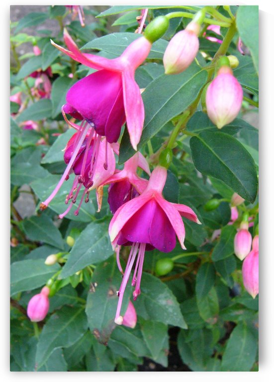 Fuchsias in Fuchsia by Lisa Bates