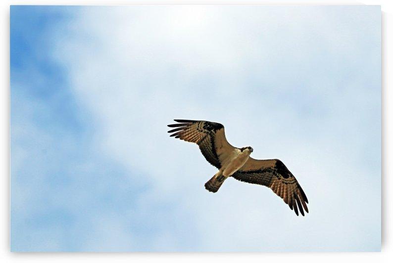 Osprey In Flight by Deb Oppermann