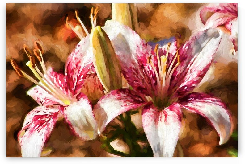 Stargazer Lily by HH Photography of Florida