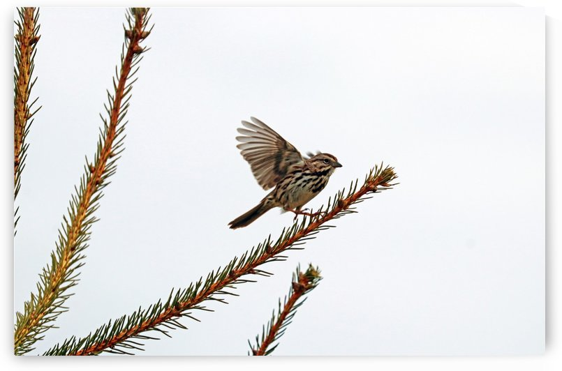 Song Sparrow On TakeOff by Deb Oppermann