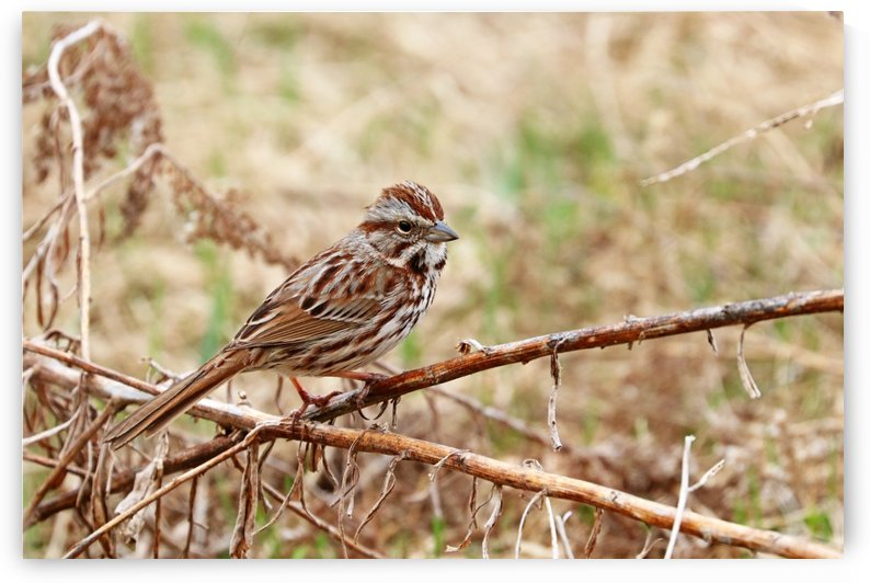 Song Sparrow by Deb Oppermann