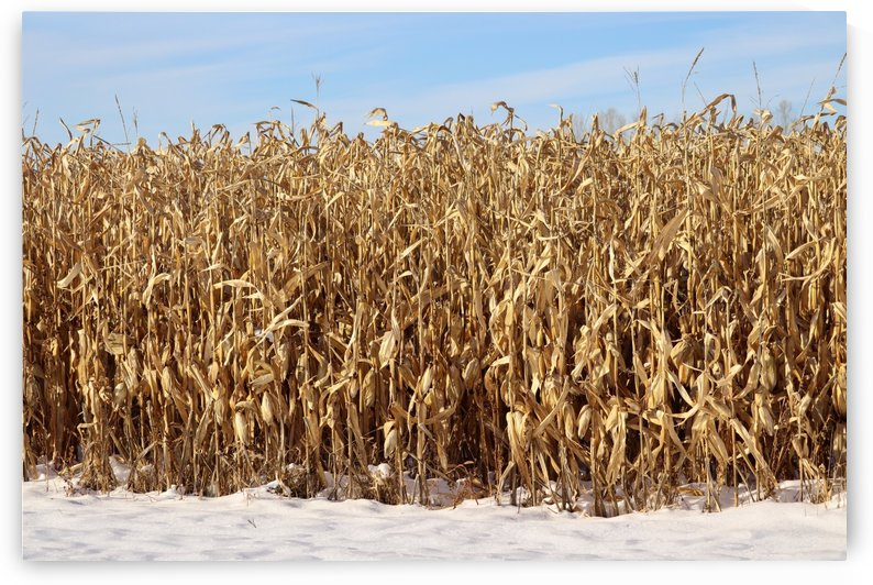 Snow Corn by Holly Smith Photography