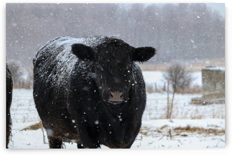 Snow Cow by Holly Smith Photography