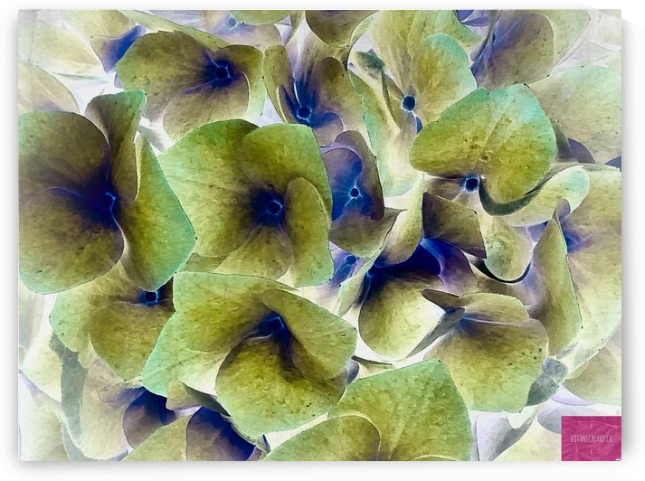 Colour-Reversed Hydrangea by BotanicalArt ca