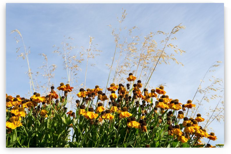 Midsummer Garden Dreams - Gloriosa Daisies and Golden Grasses by GeorgiaM
