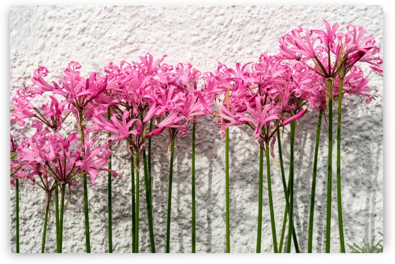 Candy Colored Garden Border - Dramatic Spider Lilies Against a Rough Wall by GeorgiaM