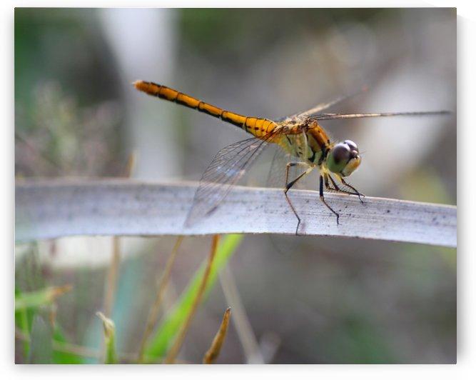 Dragonfly by On da Raks