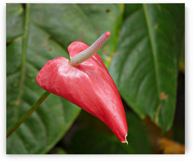 Red Anthurium by On da Raks