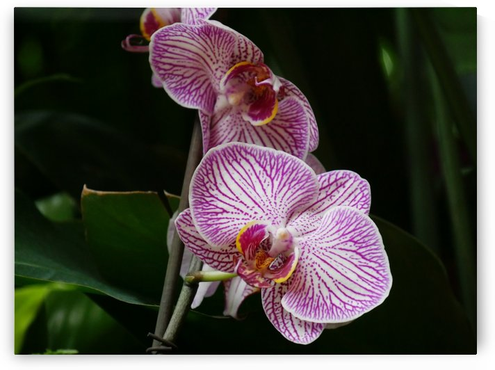 Pink Orchids by On da Raks