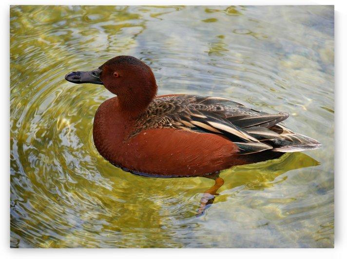 Wild duck by On da Raks