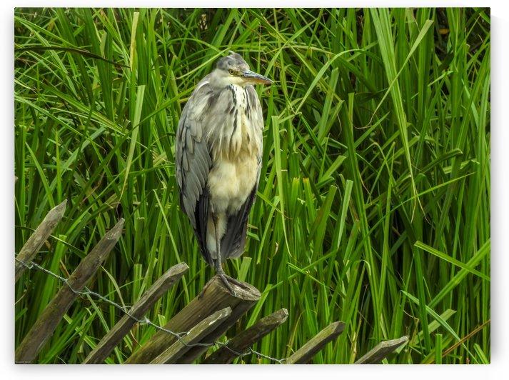 Bird on grass by RezieMart