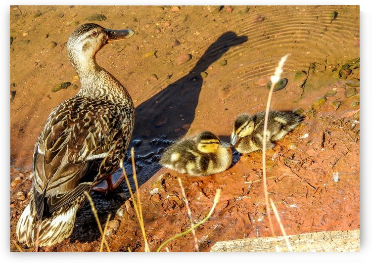 A duck and ducklings by RezieMart