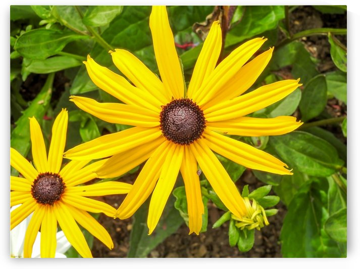 Close up sunflower by RezieMart