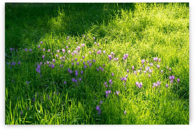 Biophilic Crocus Carpet - Delicate Blooms and Grass Blades in the Sunshine by GeorgiaM