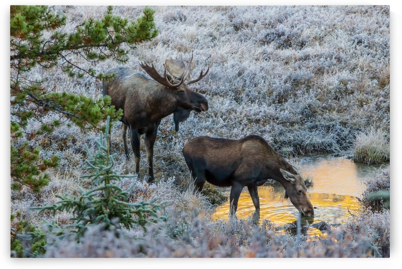 Moose On Golden Pond by Mike Gould Photoscapes